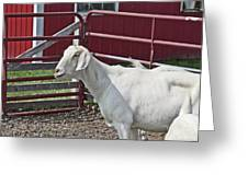 Young Old Goat White And Grayish Red Fence And Gate Barn In Close Proximity 2 9132017 Greeting Card