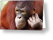 Young Orang Utan Looking Thoughtful Greeting Card