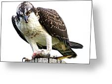 Young Osprey Greeting Card