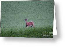 Young Pomfret Summer Buck Greeting Card
