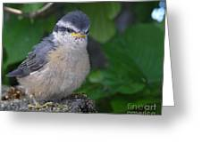 Young Red-breasted Nuthatch No. 1 Greeting Card