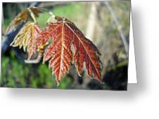 Young Red Maple Leaf In May Greeting Card