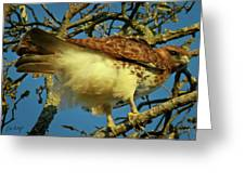 Young Red-tail Greeting Card