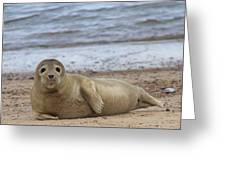 Young Seal Pup On Beach - Horsey, Norfolk, Uk Greeting Card