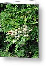 Young Seed Cones Of Lawson Cypress Greeting Card