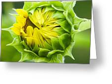 Young Sunflower Greeting Card