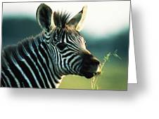 Young Zebra Greeting Card