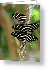 Zebra Butterflies Hanging On Greeting Card