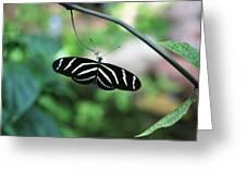 Zebra Butterfly Greeting Card
