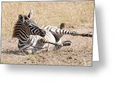 Zebra Foal Rolls In Dust On Savannah Greeting Card