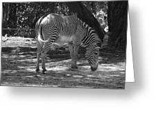 Zebra In Black And White Greeting Card