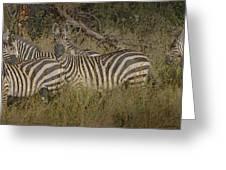 Zebra On The Serengeti Greeting Card