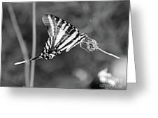 Zebra Swallowtail Butterfly Black And White Greeting Card