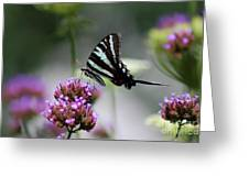 Zebra Swallowtail Butterfly On Verbena Greeting Card
