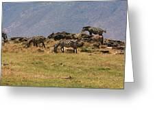 Zebras In The Ngorongoro Crater, Tanzania Greeting Card