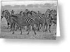 Zebras On The March Greeting Card