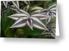 Zebrina Pendula  Greeting Card