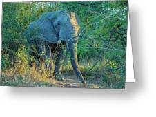Zimbabwe Bull Elephant Greeting Card