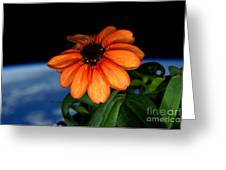 Zinnia Grown On Iss Veggie Facility Greeting Card