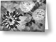 Zinnia In Black And White  Greeting Card