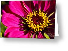 Zinnia In Evening Light Greeting Card