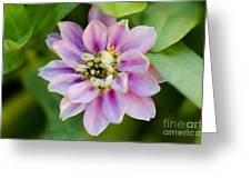 Zinnia In Pink Greeting Card