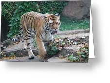 Chicago Zoo Tiger Greeting Card
