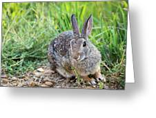 Cottontail Rabbit Greeting Card by Michael Chatt
