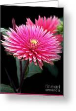 Hot Pink Dahlia  Greeting Card