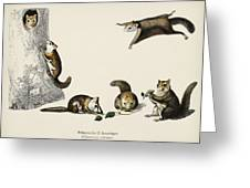 Glaucomys Sabrinus  Polatouche D Amerique  Illustrated By Charles Dessalines D Orbigny  1806 1876  Greeting Card