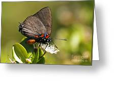 Great Purple Hairstreak Greeting Card