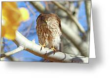 Juvenile Cooper's Hawk  Greeting Card