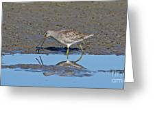 Long-billed Dowitcher Greeting Card