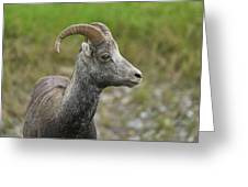 Stone's Sheep Greeting Card