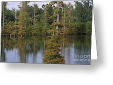Tennesse Cypress In Wetland  Greeting Card