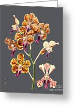 Orchid Old Print Greeting Card