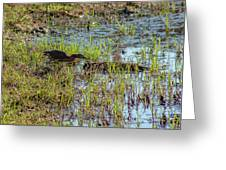 Green Heron Looking For Food Greeting Card