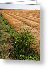 Field With Brown Cut Flax In Rows Drying In The Sun Greeting Card
