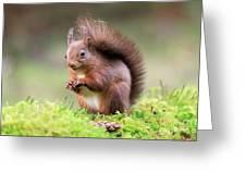 Red Squirrel Sciurus Vulgaris Greeting Card