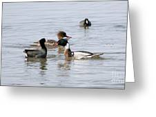 Red-breasted Merganser Greeting Card