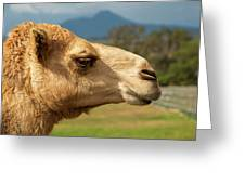 Camel Out Amongst Nature Greeting Card