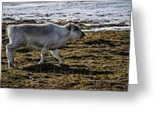 Svalbard Reindeer Greeting Card