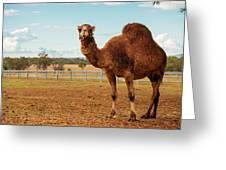 Large Beautiful Camel Greeting Card