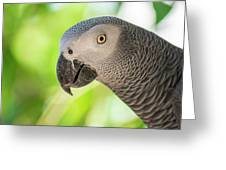 African Grey Parrot Greeting Card by Rob D Imagery