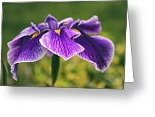 Iris Allure Greeting Card