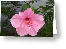 Pink Hibiscus Greeting Card