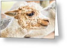 Alpaca In A Field. Greeting Card by Rob D Imagery