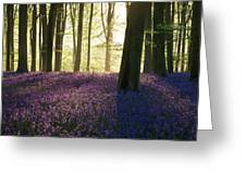 Stunning Bluebell Forest Landscape Image In Soft Sunlight In Spr Greeting Card