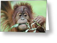 A Close Portrait Of A Young Orangutan Eating Leaves Greeting Card