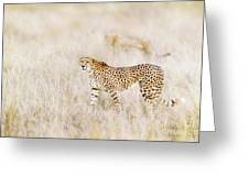 A Pair Of Cheetahs Move Steathily Through The Long Grass Of The  Greeting Card